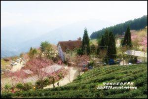 五峰山上人家白蘭部落櫻花開