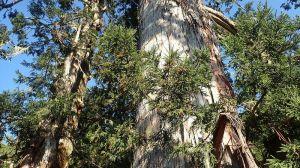 【山林】攀上70公尺高「撞到月亮的樹」 澳洲團隊首度為台灣杉攝下「等身照」