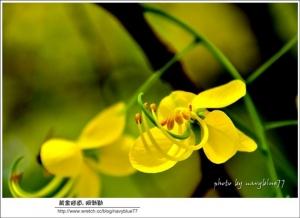 【台南】黃金花雨下蓮潭:阿勃勒黃金隧道