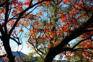 能高越嶺古道西段上的楓紅