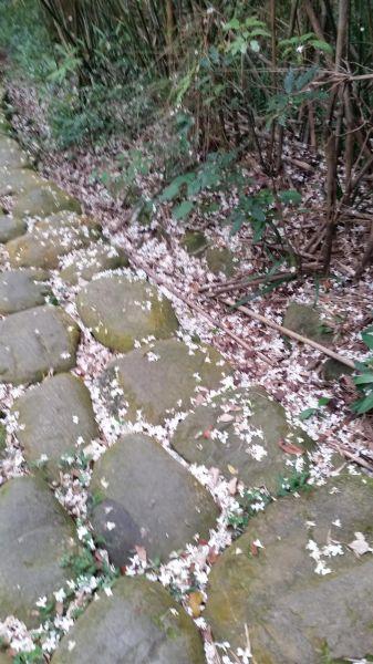 仁和.金獅步道油桐花季