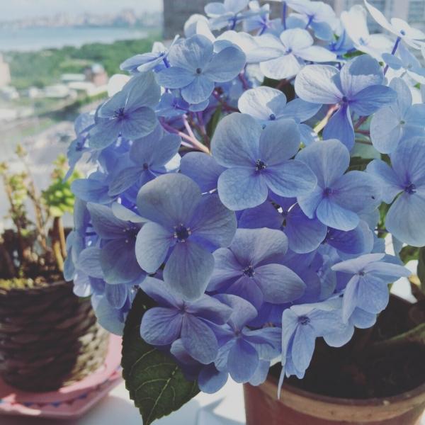 繡球花的初夏歡愉