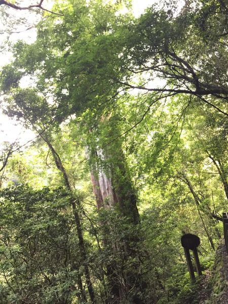 拉拉山神木步道